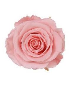 6 Premium Preserved Rose Heads Bridal Pink Extra (4812)
